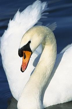 Mute Swan (Cygnus olor) close-up portrait, Europe  -  Konrad Wothe