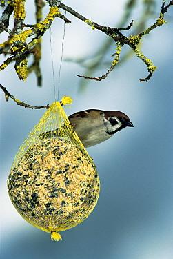 Eurasian Tree Sparrow (Passer montanus) at feeder, Germany  -  Konrad Wothe