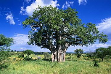 Baobab (Adansonia digitata), Tarangire National Park, Tanzania  -  Konrad Wothe