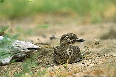 Eurasian Thick-knee (Burhinus oedicnemus) sitting on ground  -  Konrad Wothe