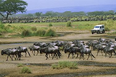 Blue Wildebeest (Connochaetes taurinus) herd migrating past safari vehicle, Serengeti, Africa  -  Konrad Wothe