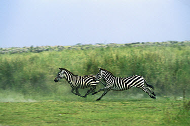 Burchell's Zebra (Equus burchellii) pair running, Serengeti National Park, Tanzania  -  Konrad Wothe