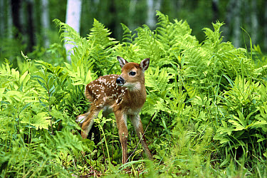 White-tailed Deer (Odocoileus virginianus) fawn standing in ferns, North America  -  Konrad Wothe