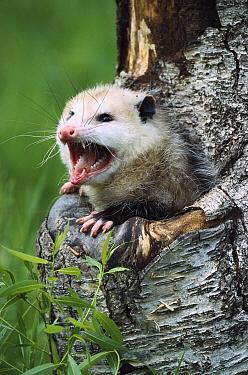 Virginia Opossum (Didelphis virginiana) female hissing from tree cavity, North America  -  Konrad Wothe
