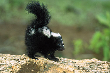 Striped Skunk (Mephitis mephitis) kit on log with raised tail to spray, North America  -  Konrad Wothe