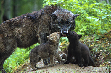 Timber Wolf (Canis lupus) mother with two pups begging for food at den entrance, Pine County, Minnesota  -  Konrad Wothe