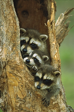 Raccoon (Procyon lotor) young peering out from hole in tree, North America