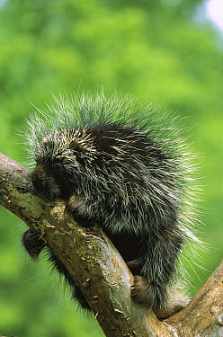 Common Porcupine (Erethizon dorsatum), North America  -  Konrad Wothe