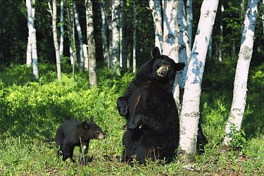 Black Bear (Ursus americanus) sow scratching on Birch (Betula sp) tree with cub watching, North America  -  Konrad Wothe