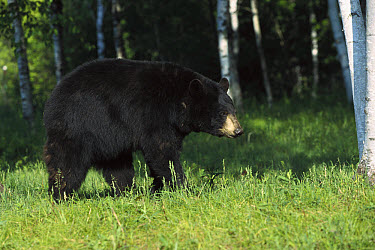 Black Bear (Ursus americanus) sow walking through Birch (Betula sp) forest, North America  -  Konrad Wothe