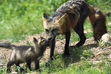 Red Fox (Vulpes vulpes) mother in cross-phase coloration with begging kit, North America  -  Konrad Wothe