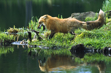 Red Fox (Vulpes vulpes) mother play fighting with kit who has fallen into the lake, North America, sequence 1 of 2  -  Konrad Wothe