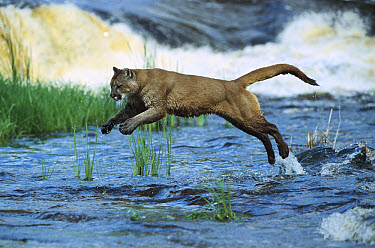Mountain Lion (Puma concolor) leaping across stream, North America  -  Konrad Wothe