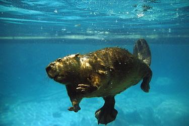 American Beaver (Castor canadensis) swimming underwater, North America  -  Konrad Wothe