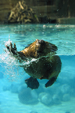 American Beaver (Castor canadensis) swimming towards camera with lodge in background, North America  -  Konrad Wothe