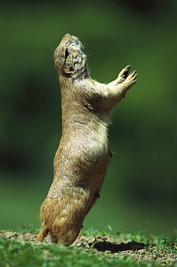 Black-tailed Prairie Dog (Cynomys ludovicianus) giving warning call to group members, North America  -  Konrad Wothe