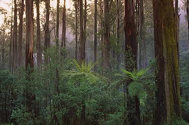Mountain-ash (Eucalyptus regnans) forest, Dandenong Ranges National Park, Victoria, Australia  -  Konrad Wothe