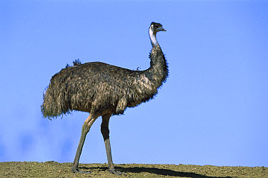 Emu (Dromaius novaehollandiae) portrait, Sturt National Park, New South Wales, Australia  -  Konrad Wothe