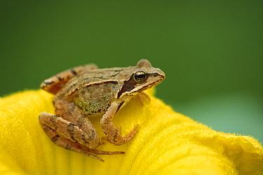 Agile Frog (Rana dalmatina) on flower, Bavaria, Germany  -  Konrad Wothe