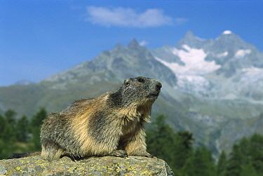 Alpine Marmot (Marmota marmota), Wallis, Switzerland  -  Konrad Wothe