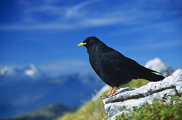 Alpine Chough (Pyrrhocorax pyrrhocorax) the Alps, Germany  -  Konrad Wothe