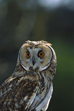 Long-eared Owl (Asio otus), Europe  -  Konrad Wothe