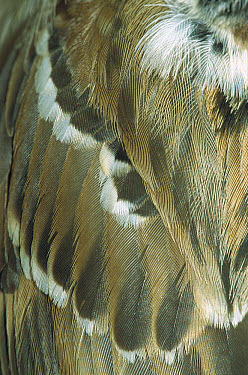 Eurasian Tree Sparrow (Passer montanus) close-up detail of feathers, Europe  -  Konrad Wothe