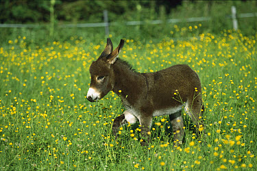 Donkey (Equus asinus) foal in field of flowers, Germany  -  Konrad Wothe