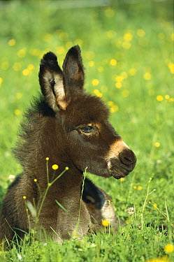 Donkey (Equus asinus) foal resting in field of flowers, Germany  -  Konrad Wothe