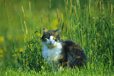 Domestic Cat (Felis catus) sitting amid grasses, Germany  -  Konrad Wothe