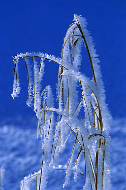 Grass covered in frost crystals, Germany  -  Konrad Wothe