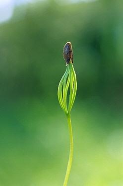 European Larch (Larix decidua) sprout, Germany  -  Konrad Wothe