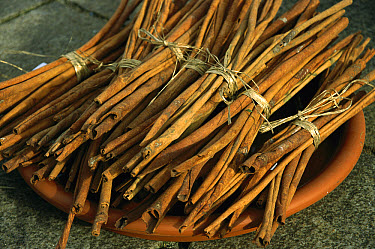Cinnamon (Cinnamomum aromaticum) comes from the inner bark of a tropical evergreen tree that curls into scrolls when dried, Germany  -  Konrad Wothe
