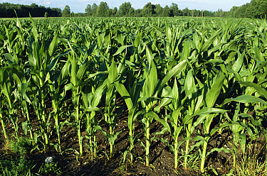 Maize (Zea mays) field, comprised of cultivated young plants, Germany  -  Konrad Wothe