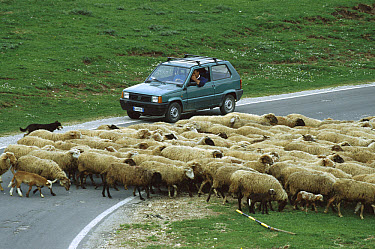 Domestic Sheep (Ovis aries) flock crossing the road in front of a vehicle, Piano Grande, Italy  -  Konrad Wothe