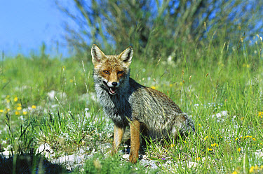 Red Fox (Vulpes vulpes) sitting in grass, Monti Sibillini National Park, Apennine, Italy  -  Konrad Wothe