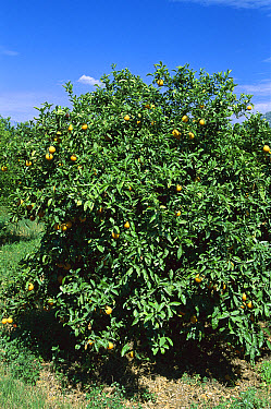 Sour Orange (Citrus aurantium) in grove, Greece  -  Konrad Wothe