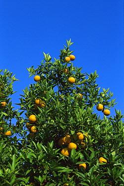 Sour Orange (Citrus aurantium) with ripe fruit, Greece  -  Konrad Wothe