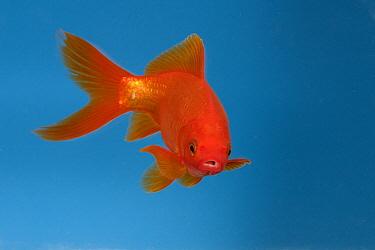 Goldfish (Carassius auratus) in aquarium  -  Konrad Wothe