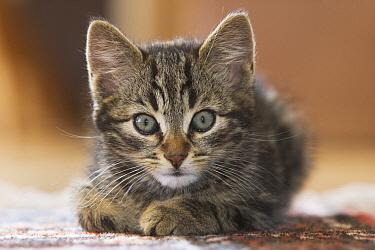 Domestic Cat (Felis catus) kitten portrait, Europe  -  Konrad Wothe