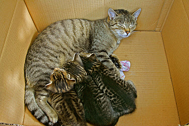 Domestic Cat (Felis catus) mother nursing three kittens in a cardboard box, Germany  -  Konrad Wothe