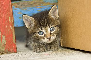 Domestic Cat (Felis catus) grey Tabby kitten, Germany  -  Konrad Wothe