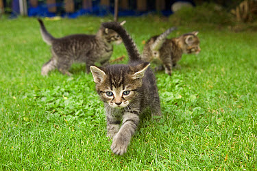 Domestic Cat (Felis catus) three grey Tabby kittens playing, Germany  -  Konrad Wothe