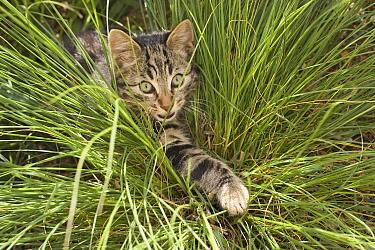 Domestic Cat (Felis catus) hunting in grass, Germany  -  Konrad Wothe