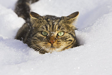 Domestic Cat (Felis catus) in deep snow, Germany  -  Konrad Wothe