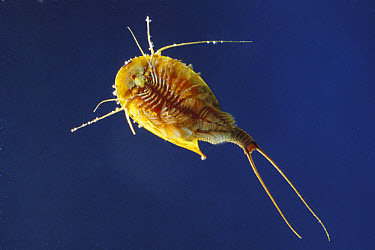 Tadpole Shrimp (Triops cancriformis) living fossil is oldest living animal species known, underwater  -  Konrad Wothe