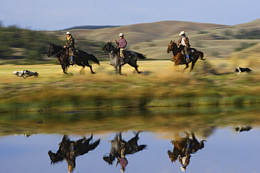 Cowboys riding Domestic Horse (Equus caballus) group beside pond with dogs, Oregon  -  Konrad Wothe
