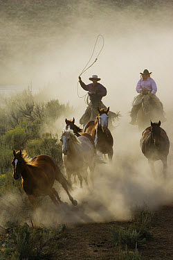 Domestic Horse (Equus caballus) group herded by cowboy and cowgirl, Oregon  -  Konrad Wothe