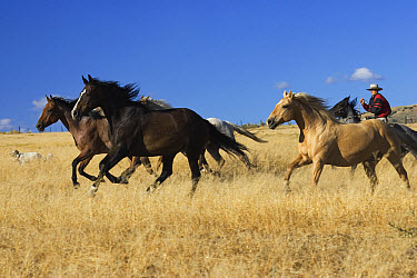 Domestic Horse (Equus caballus) herd driven by cowboy, Oregon  -  Konrad Wothe