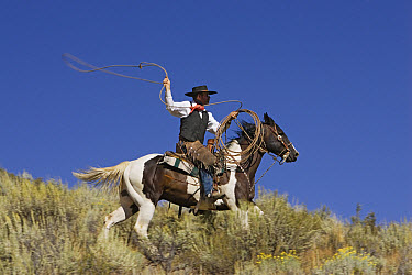 Cowboy with lasso on Domestic Horse (Equus caballus) riding through field, Oregon  -  Konrad Wothe